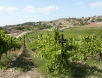 vineyardshot