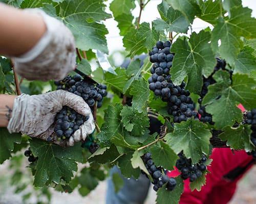 vindemia-sustainable-wine-growing